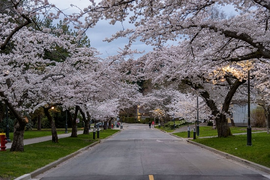 Cherry Blossoms – University of British Columbia | Foto: Xicotencatl, via Wikimedia Commons